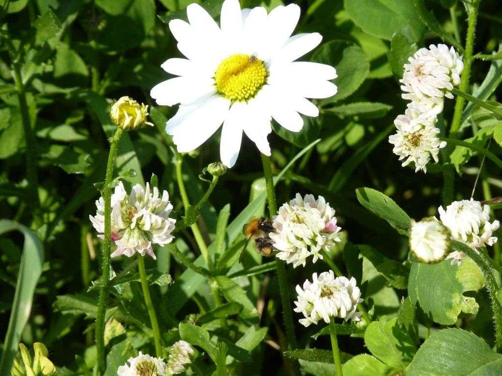 Oxide daisy